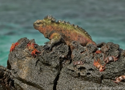Iguana 2015 -13copyright-photographers-on-safari-com