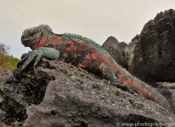 Iguana 2015 -14copyright-photographers-on-safari-com