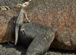 Lava Lizard 2015 -2copyright-photographers-on-safari-com
