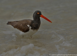 Oystercatcher 2015 -1copyright-photographers-on-safari-com