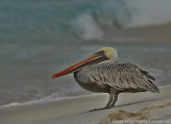Pelican 2015 -3copyright-photographers-on-safari-com
