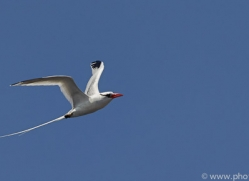 Red Billed Tropicbird 2015 -1copyright-photographers-on-safari-com