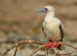 Red Footed Booby 2015 -1copyright-photographers-on-safari-com