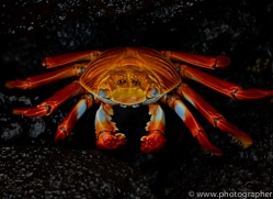 Sally Lightfoot Crab 2015 -1copyright-photographers-on-safari-com