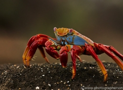 Sally Lightfoot Crab 2015 -2copyright-photographers-on-safari-com