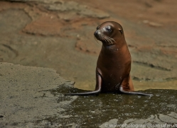 Sealion 2015 -2copyright-photographers-on-safari-com