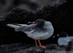 Swallow Tailed Gull 2015 -1copyright-photographers-on-safari-com