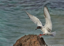 Swallow Tailed Gull 2015 -2copyright-photographers-on-safari-com