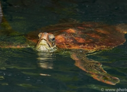 Turtle 2015 -1copyright-photographers-on-safari-com