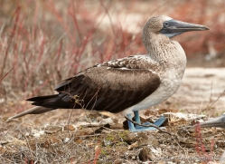 blue-footed-booby-1835-galapagos-copyright-photographers-on-safari-com