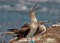 blue-footed-booby-1836-galapagos-copyright-photographers-on-safari-com