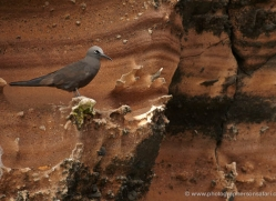 brown-noddy-1872-galapagos-copyright-photographers-on-safari-com
