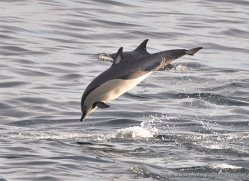 dolphin-1820-galapagos-copyright-photographers-on-safari-com