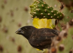 finch-1907-galapagos-copyright-photographers-on-safari-com