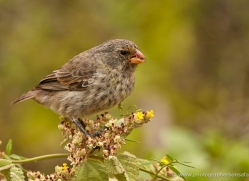 finch-1908-galapagos-copyright-photographers-on-safari-com