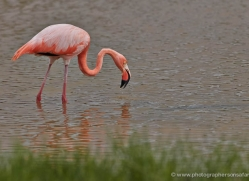 flamingo-1850-galapagos-copyright-photographers-on-safari-com