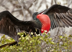 frigate-bird-1802-galapagos-copyright-photographers-on-safari-com
