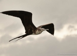 frigate-bird-1803-galapagos-copyright-photographers-on-safari-com