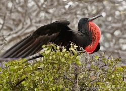frigate-bird-1805-galapagos-copyright-photographers-on-safari-com