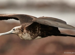 frigate-bird-1811-galapagos-copyright-photographers-on-safari-com