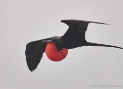 frigate-bird-1815-galapagos-copyright-photographers-on-safari-com