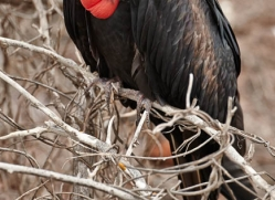 frigate-bird-1817-galapagos-copyright-photographers-on-safari-com
