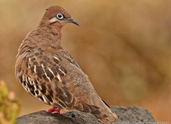 galapagos-dove-1893-galapagos-copyright-photographers-on-safari-com