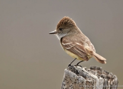galapagos-flycatcher-1899-galapagos-copyright-photographers-on-safari-com