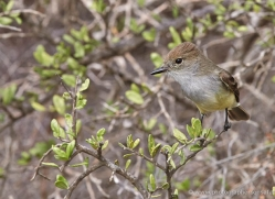 galapagos-flycatcher-1900-galapagos-copyright-photographers-on-safari-com