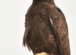 galapagos-hawk-1852-galapagos-copyright-photographers-on-safari-com