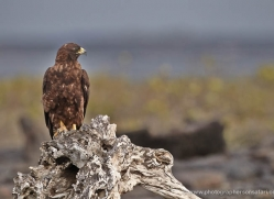 galapagos-hawk-1853-galapagos-copyright-photographers-on-safari-com