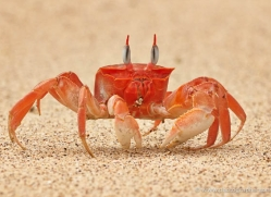 ghost-crab-1800-galapagos-copyright-photographers-on-safari-com