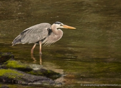 great-blue-heron-1881-galapagos-copyright-photographers-on-safari-com