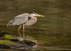 great-blue-heron-1881-galapagos-copyright-photographers-on-safari-com