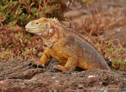 iguana-1719-galapagos-copyright-photographers-on-safari-com