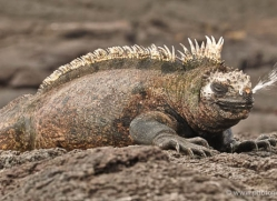 iguana-1720-galapagos-copyright-photographers-on-safari-com