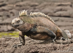 iguana-1721-galapagos-copyright-photographers-on-safari-com