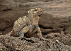iguana-1724-galapagos-copyright-photographers-on-safari-com