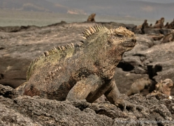 iguana-1725-galapagos-copyright-photographers-on-safari-com