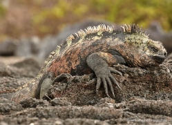 iguana-1726-galapagos-copyright-photographers-on-safari-com