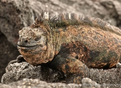 iguana-1727-galapagos-copyright-photographers-on-safari-com
