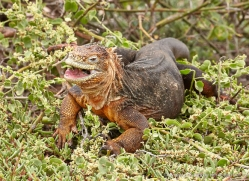 iguana-1729-galapagos-copyright-photographers-on-safari-com