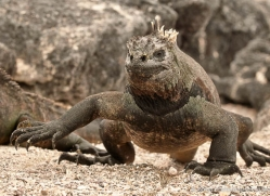 iguana-1730-galapagos-copyright-photographers-on-safari-com