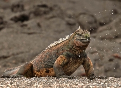iguana-1731-galapagos-copyright-photographers-on-safari-com