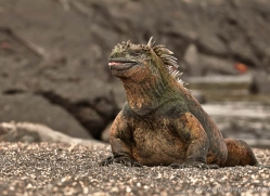 iguana-1732-galapagos-copyright-photographers-on-safari-com