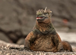 iguana-1733-galapagos-copyright-photographers-on-safari-com