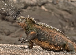 iguana-1735-galapagos-copyright-photographers-on-safari-com