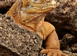 iguana-1737-galapagos-copyright-photographers-on-safari-com