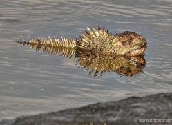 iguana-1740-galapagos-copyright-photographers-on-safari-com