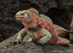 iguana-1743-galapagos-copyright-photographers-on-safari-com